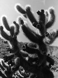 Spiny Palm Springs Cactus Photographic Print by Alfred Eisenstaedt