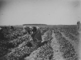 Woman Picking Peas on a Farm in Canarsie Premium Photographic Print by Wallace G. Levison