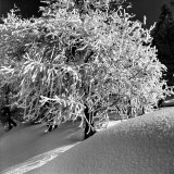 Tree Covered in Snow on Alpine Slopes of Winter Resort Photographic Print by Alfred Eisenstaedt