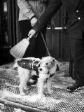 Dog Gets Snow Brushed from His Coat by Hotel Doorman Premium Photographic Print by Alfred Eisenstaedt