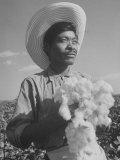 Cotton Picker Harvesting Cotton Premium Photographic Print by Bernard Hoffman