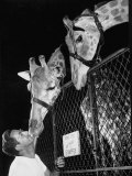 Giraffes Being Friendly with Circus Vet Photographic Print by Francis Miller