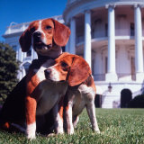 President Lyndon B. Johnson's Pet Beagles, Him and Her, on the White House Lawn Photographic Print by Francis Miller