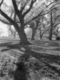 Trees on the Nelson Doubleday Plantation Photographic Print by Alfred Eisenstaedt