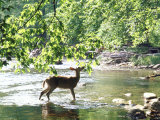 Lone White-Tailed Deer Nibbling Young Oak Leaves From Banks of Cheat River Premium Photographic Print by John Dominis