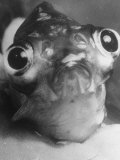 Magnified Frontal Closeup on Bugeyed Head of Fish Photographic Print