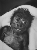 Newborn Gorilla Born in an Ohio Zoo Posing for a Picture Photographic Print by Grey Villet