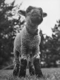 Little Lamb Posing for the Camera Fotoprint van Wallace Kirkland