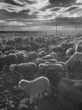 Sheep Going to the Slaughter House Reproduction photographique sur papier de qualit&#233; par Eliot Elisofon