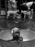 Dog Being Bathed in Back Yard Premium Photographic Print by Robert W. Kelley