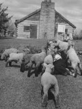 Little Girl Getting Swamped by Lambs While Holding a Bottle Premium Photographic Print by Wallace Kirkland