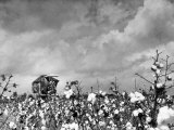 Cotton Picking Machine Doing the Work of 25 Field Hands on Large Farm in the South Fotografie-Druck von Margaret Bourke-White