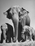 Butch, Baby Female Indian Elephant Premium Photographic Print by Cornell Capa
