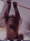 Orangutan Felix and Gigi, St. Louis Zoo Premium Photographic Print by Nina Leen
