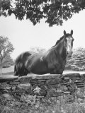 Horse with a White Nose, Standing Behind a Stone Fence Premium Photographic Print by Yale Joel
