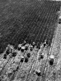 Aerial View of Farm Workers Harvesting Onion Crop Photographic Print by Margaret Bourke-White