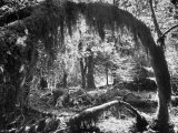 Olympic National Park Showing Rain Forest Conditions with Tree Bending under the Weight of Moss Premium Photographic Print by Loomis Dean