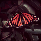 Close-Up of Monarch Butterfly Photographic Print by Andreas Feininger