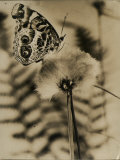 Sepia Photo of Butterfly on a Dandelion Premium Photographic Print