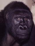 Primates Premium Photographic Print by Nina Leen