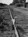 Alley Cat Serenely Walking the Tracks Photographic Print by Walter Sanders