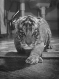 Rajpur, a Tiger Cub, Being Cared for by Mrs. Martini, Wife of the Bronx Zoo Lion Keeper Premium Photographic Print by Alfred Eisenstaedt