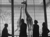 Vistors to National Zoological Park Admiring Giraffes Premium Photographic Print by Alfred Eisenstaedt