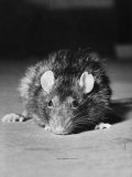 Rat Being Used in an Experiment at Michigan University Premium Photographic Print by Bernard Hoffman