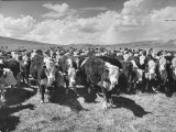 Beef Cattle Standing in a Pasture on the Abbott Ranch Impressão fotográfica por Bernard Hoffman
