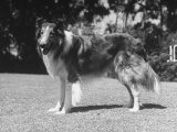 "Full-Length Side View of Collie ""Lassie"" Premium Photographic Print"