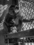 Monkeys Surviving of Bikini Atom Bomb Test, Held for Observation Premium Photographic Print