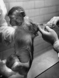 Monkey Being Administered the Salk Vaccine for Testing Premium Photographic Print