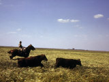 Argentinian Cowboy, known as a Gaucho, Herding Cattle on the Pampas Premium Photographic Print