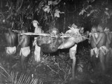 Cut Up Gorilla Is Carried by Pole Back to the Village to Be Eaten Premium Photographic Print