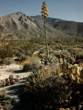 Flowering Agave Plant Sprouting During the Spring in the Sonoran Desert Premium Photographic Print by Andreas Feininger