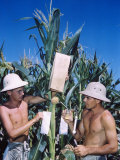Student Agricultural Study in Pith Helmets Experimenting with Hybridization in Cornfield Premium Photographic Print by Horace Bristol