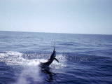 Sailfishing Premium Photographic Print