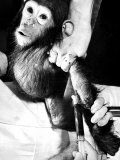 Researchers Testing Immunity of a Chimp That Was Inoculated with Polio Vaccine Premium Photographic Print
