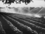 Sprinkler System in Tomato Field Premium Photographic Print by Ralph Crane