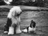 Old English Sheep Dog with Little Shih Tzu Dog Reproduction photographique sur papier de qualité par Yale Joel