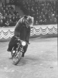 Extraordinarily Skillful Russian Performing Bear Driving a Motorcycle Premium Photographic Print by Carl Mydans