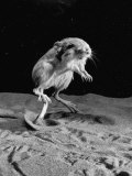 Kangaroo Rat in Mid-Jump Premium Photographic Print by Loomis Dean