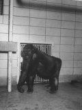 Mother Gorilla of Colo, Baby Gorilla, of Columbus, Ohio Zoo, 1st to Survive Birth in Captivity Premium Photographic Print by Francis Miller