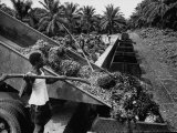 Men Loading Wagons with Palm Fruit Premium Photographic Print by Dmitri Kessel