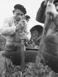 Men Pounding the Grapes to Smash Them Premium Photographic Print