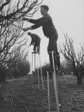 California Farmer Using Stilts for Picking Fruit Photographic Print by Ralph Crane