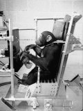 Training Chimpanzees at Hollowan Air Force Base for Trip into Space as Part of the Mercury Project Premium Photographic Print by Ralph Crane