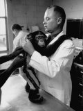 Chimps During Training at Holloman Air Force Base for Space Flight Premium Photographic Print by Ralph Crane