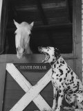 Dalmatian Stable Dog at Mystery Stables Photographic Print