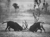 Two Male Giant Sable Antelopes in Combat on Luanda Game Reserve Photographic Print by Carlo Bavagnoli